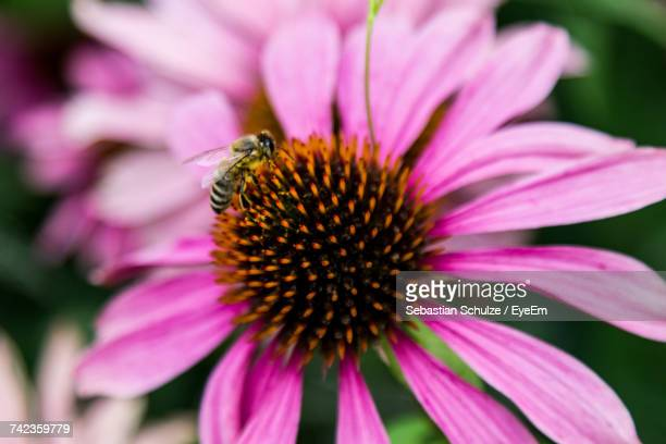Close-Up Of Wasp On Pink Flower
