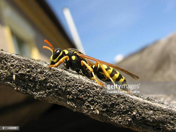 Close-Up Of Wasp On Wall