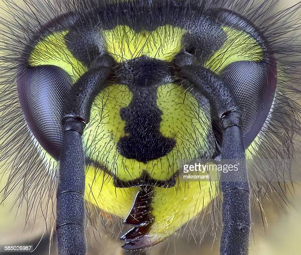 close-up of wasp - bug eyes stock photos and pictures
