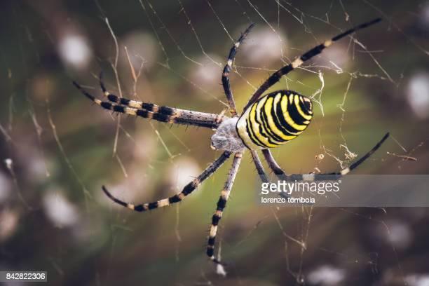 close-up of wasp spider (argiope bruennichi) - aranha imagens e fotografias de stock