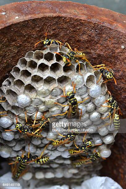 Close-Up Of Wasps In Nest