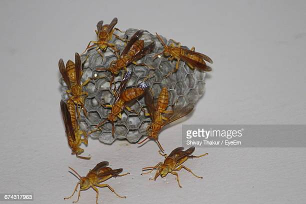 Close-Up Of Wasps Making Hive On Wall