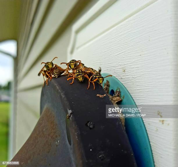 close-up of wasps - michael stock photos and pictures