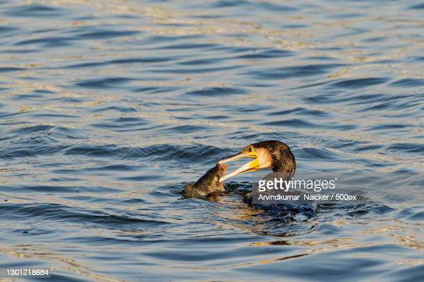 close-up of water bird swimming in lake,ahmedabad,gujarat,india - ahmedabad stock pictures, royalty-free photos & images