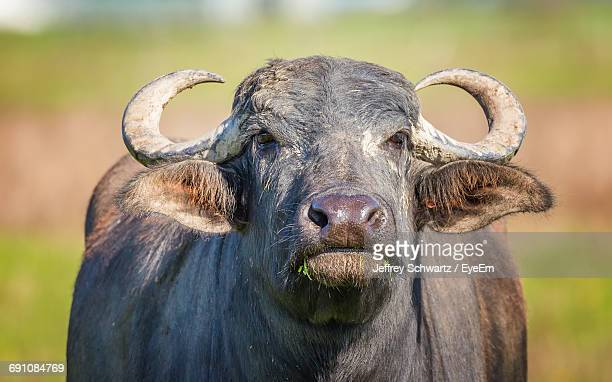 Close-Up Of Water Buffalo Outdoors