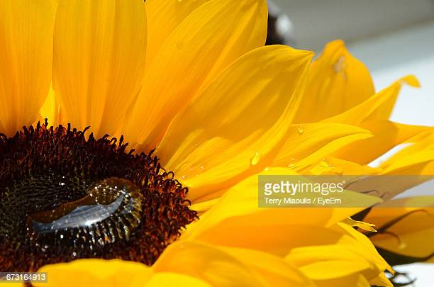 Close-Up Of Water Drop On Sunflower