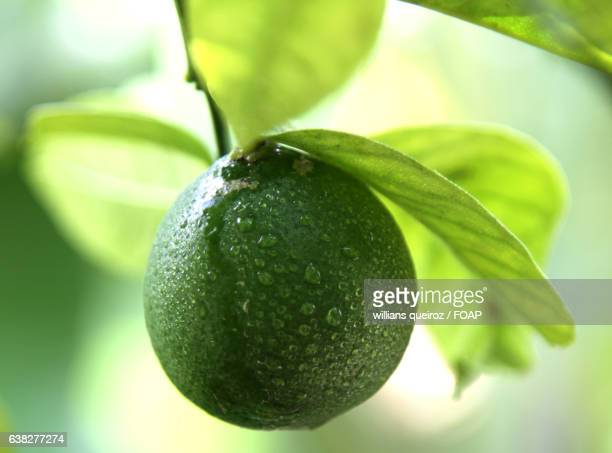 Close-up of water droplets on green lemon