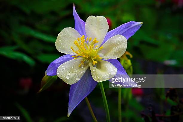 close-up of water drops on aquilegia caerulea flower - columbine flower stock pictures, royalty-free photos & images