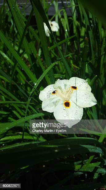close-up of water drops on iris - charley green stock pictures, royalty-free photos & images