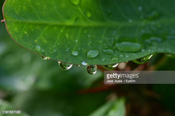 close-up of water drops on leaves - jose ayala stock pictures, royalty-free photos & images