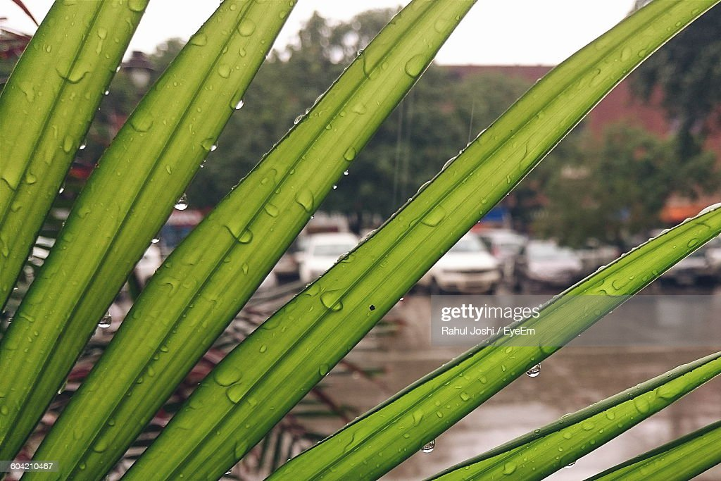 Close-Up Of Water Drops On Leaves With Cars And Street In Background