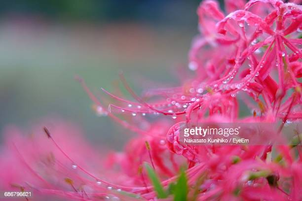 Close-Up Of Water Drops On Pink Flowers