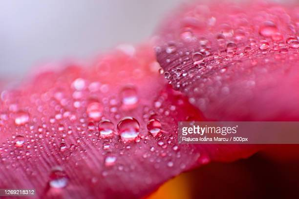 close-up of water drops on pink rose flower - 露 ストックフォトと画像