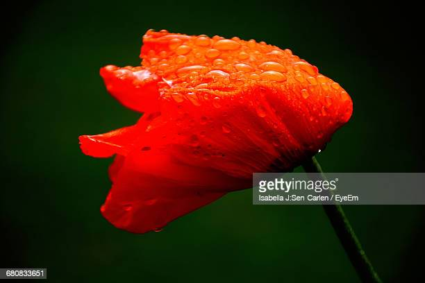 Close-Up Of Water Drops On Red Poppy