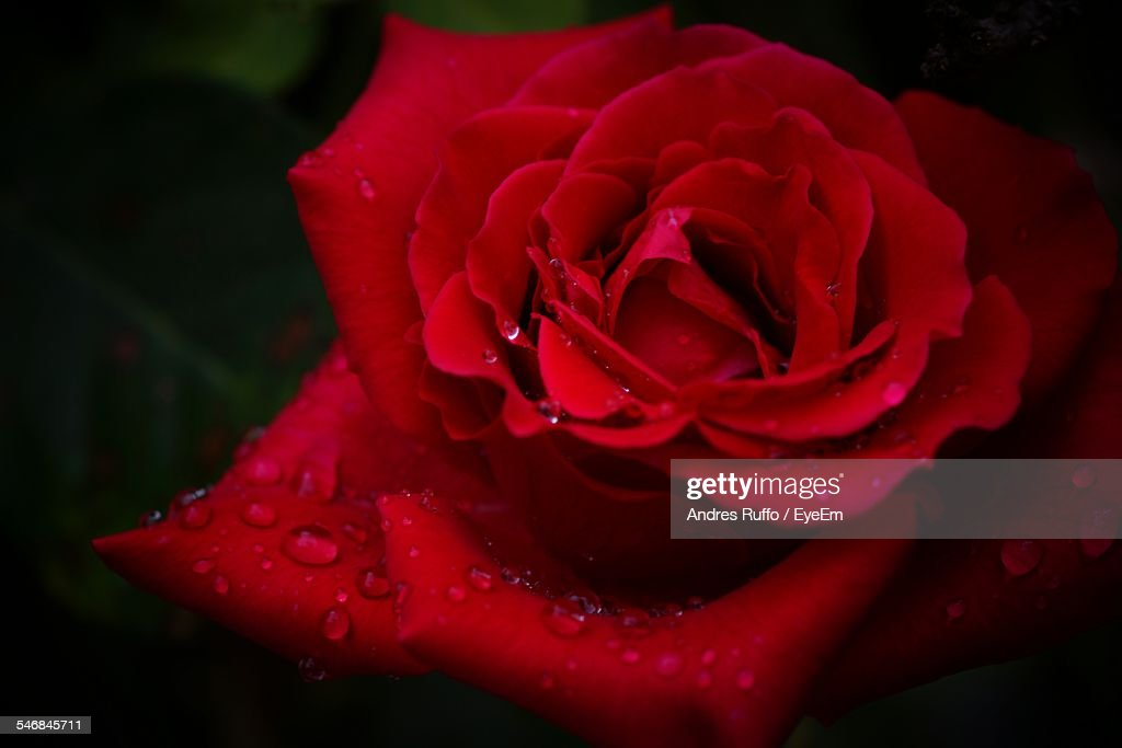 Close-Up Of Water Drops On Red Rose : Stock-Foto
