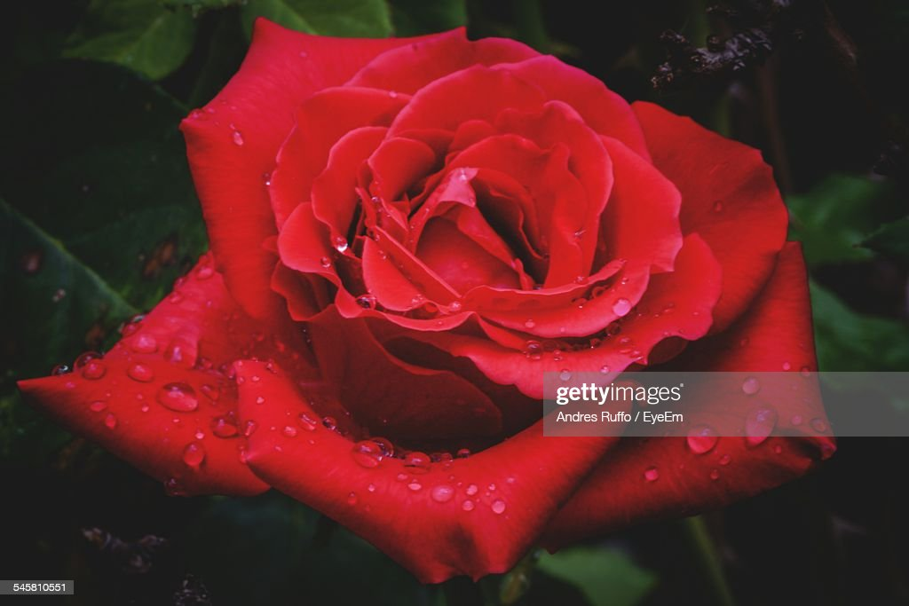 Close-Up Of Water Drops On Rose : Stock Photo