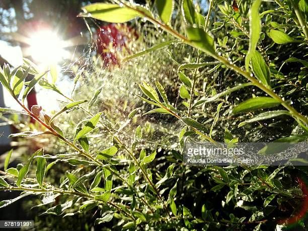 Close-Up Of Water Drops On Spider Web Between Plants
