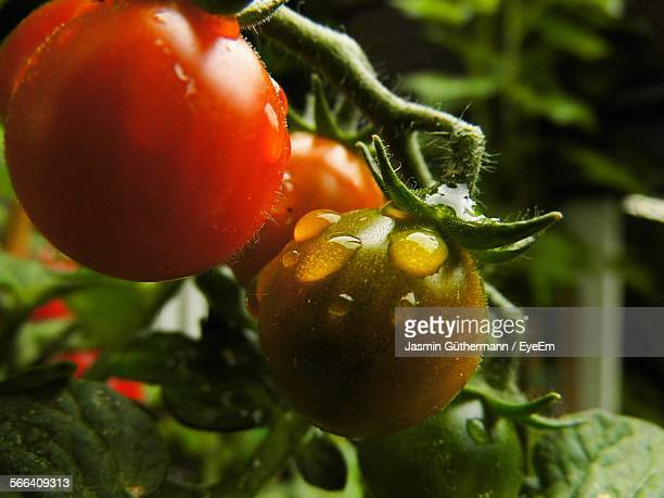 Close-Up Of Water Drops On Tomatoes Growing At Farm