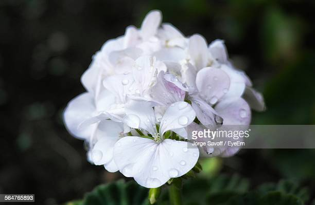 close-up of water drops on white geraniums flowers - geranium stock pictures, royalty-free photos & images