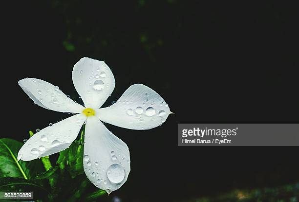 close-up of water drops on white jasmine flower at night - jasmine stock photos and pictures