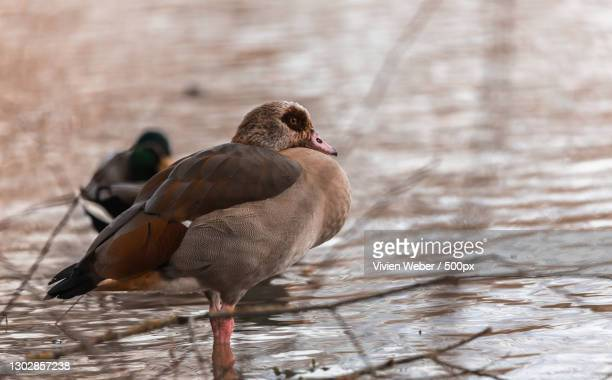close-up of water duck perching on lake,mulhouse,grand est,france - mulhouse stock pictures, royalty-free photos & images