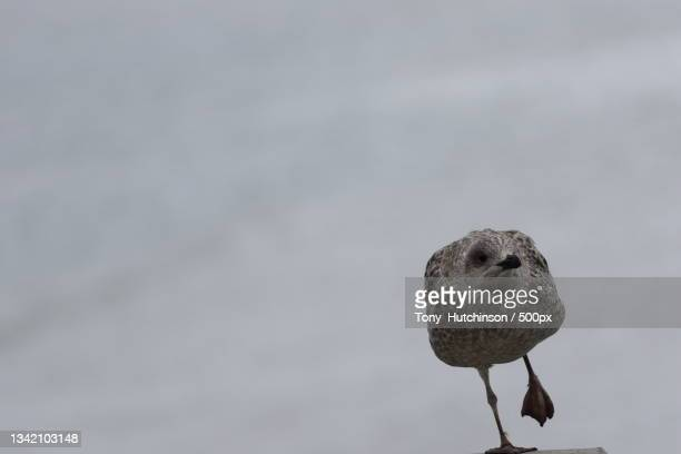 close-up of water killdeer perching on retaining wall,worthing,united kingdom,uk - waders stock pictures, royalty-free photos & images