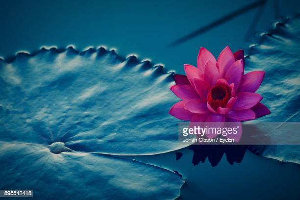 close-up of water lily blooming outdoors - ninfea foto e immagini stock