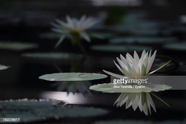 close-up of water lily in lake - water lily stock photos and pictures