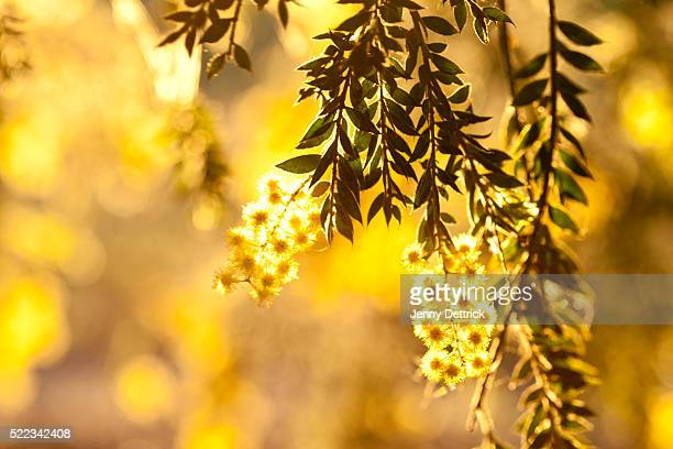 Close-up of wattle tree in bloom