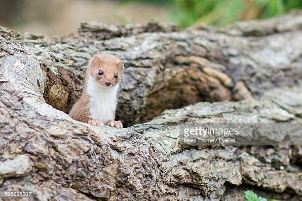 Close-Up Of Weasel In Branch Hole