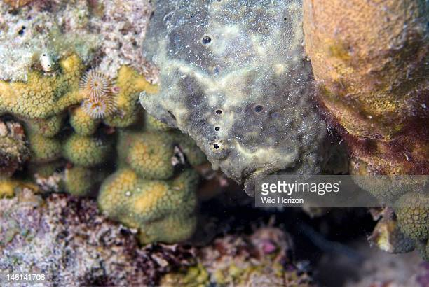 Closeup of well disguised frogfish Antennarius multiocellatus Bonaire Netherlands Antilles Digital Photo