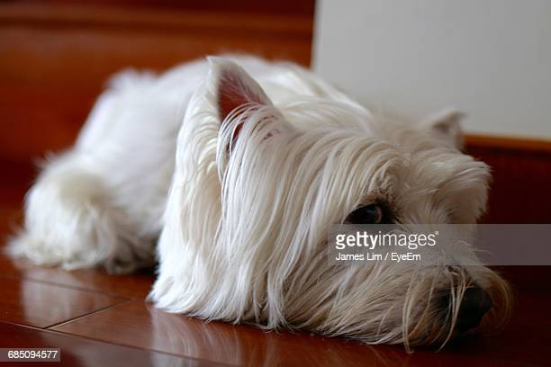 Close-Up Of West Highland White Terrier Relaxing On Hardwood Floor