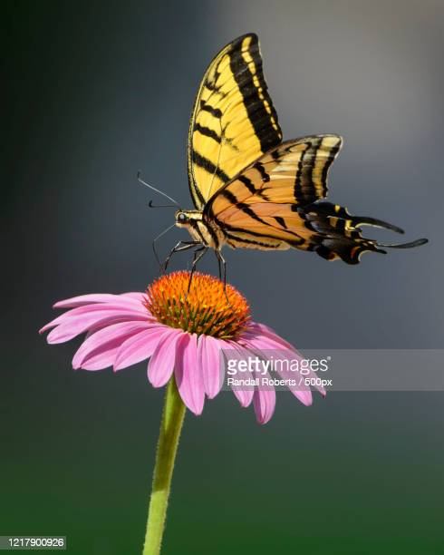 close-up of western tiger swallowtail (papilio rutulus) on purple coneflower - rio rancho stock pictures, royalty-free photos & images