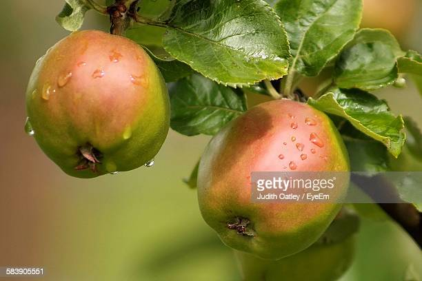 close-up of wet apples growing on tree in rainy season - unripe stock pictures, royalty-free photos & images