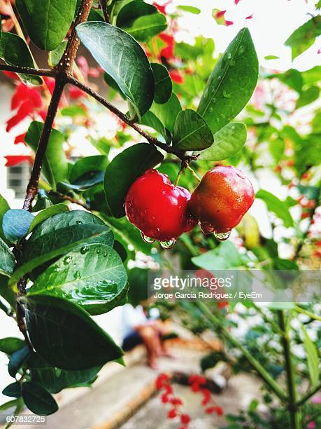 Close-Up Of Wet Apples Growing On Tree