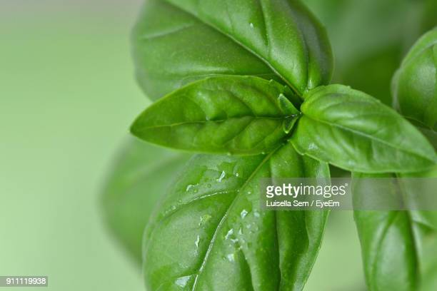 close-up of wet basil leaves - basil stock pictures, royalty-free photos & images