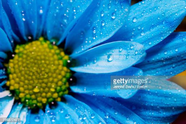 Close-Up Of Wet Blue Flower Blooming Outdoors