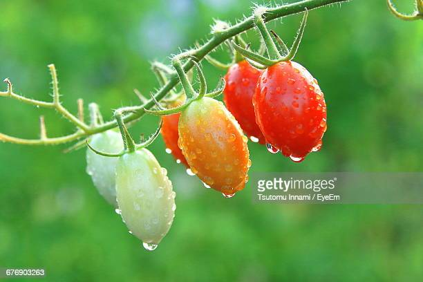 Close-Up Of Wet Cherry Tomatoes Growing On Vine