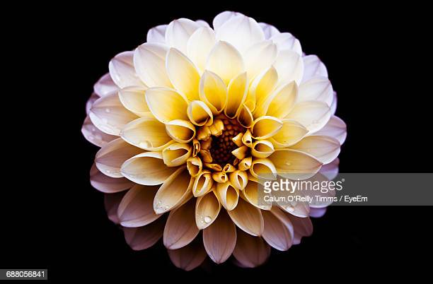 Close-Up Of Wet Dahlia Against Black Background