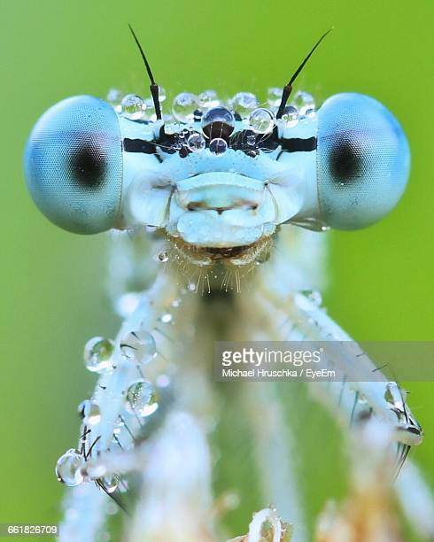 Close-Up Of Wet Damselfly