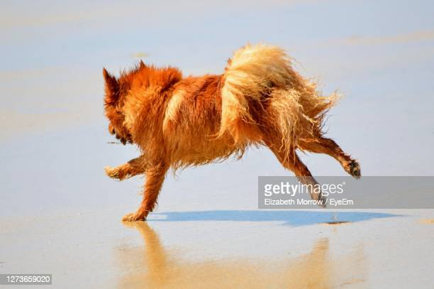 close-up of wet dog running on beach - truro cornwall stock pictures, royalty-free photos & images
