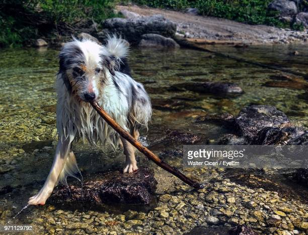 close-up of wet dog with stick at riverbank - walter ciceri foto e immagini stock