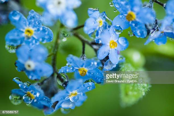 Close-Up Of Wet Forget-Me-Not Flowers Blooming Outdoors