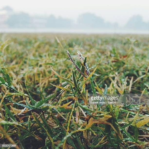 Close-Up Of Wet Grass On Field