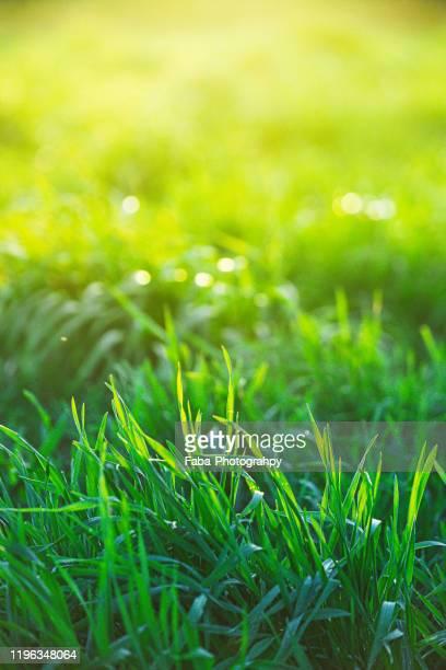 close-up of wet grass - filo d'erba foto e immagini stock