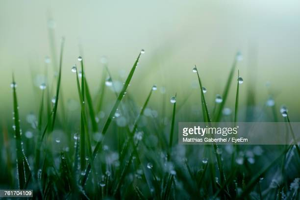 Close-Up Of Wet Grass