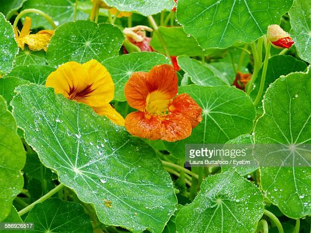 close-up of wet nasturtiums and leaves - nasturtium stock pictures, royalty-free photos & images