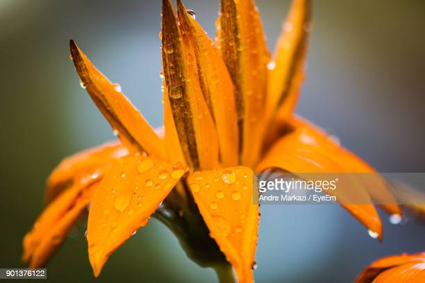 Close-Up Of Wet Orange Day Lily