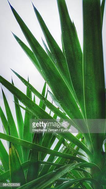Close-Up Of Wet Palm Leaves