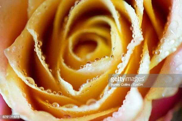 Close-Up Of Wet Pink And Yellow Rose